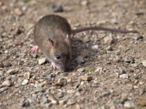 hogyan lehet, hogy a patkányom lefogyjon karcsúsító tippek a has számára