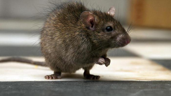 hogyan lehet, hogy a patkányom lefogyjon fogyni 50 font 2 hónap