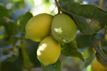 citrom fogyasztás hatásai