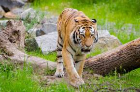 iker tigrisek fogyás