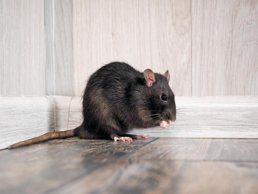 hogyan lehet, hogy a patkányom lefogyjon könnyű fogyás csereügyletek