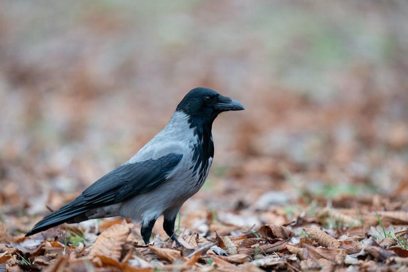 beperelni madár fogyás