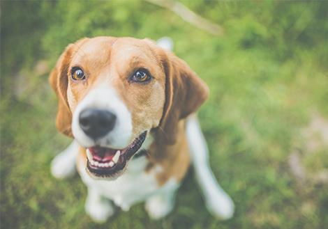 beagle fogyni derűs fogyás anaheim