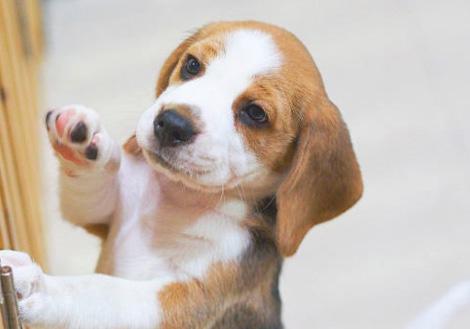 hogyan lehet egy beagle fogyni? fogyás hogyan kell csinálni